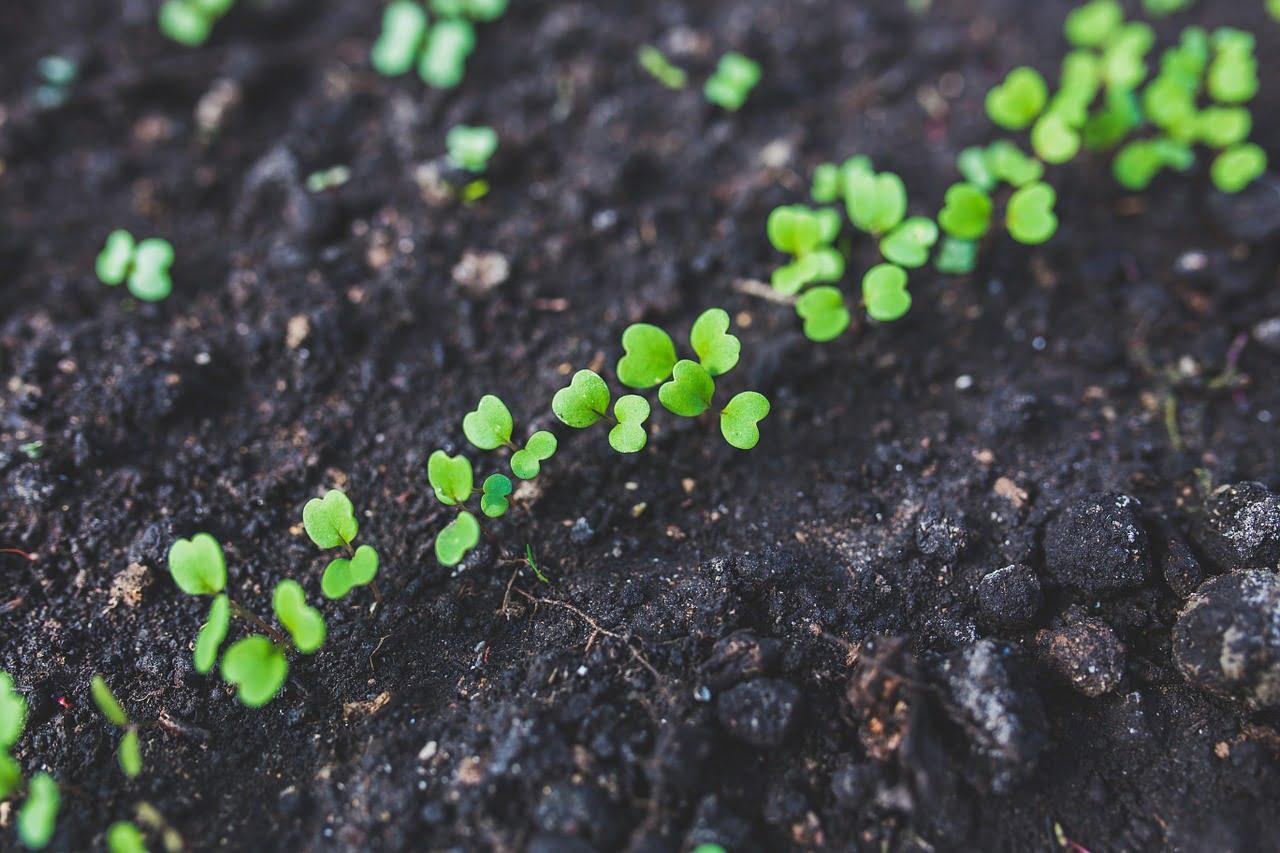 arugula, seedlings, plant