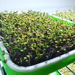 insalata coltivata in vaso