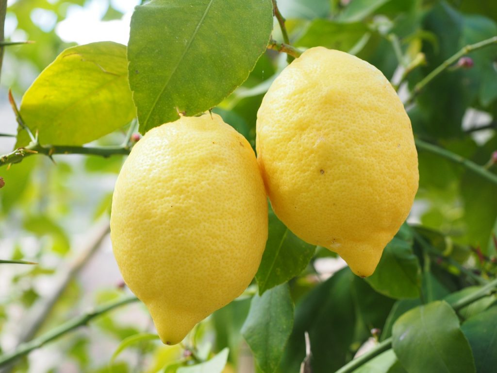 lemon, limone, lemon tree